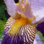 Iris ©CocoOltra