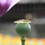 Zaadddoos papaver ©CocoOltra